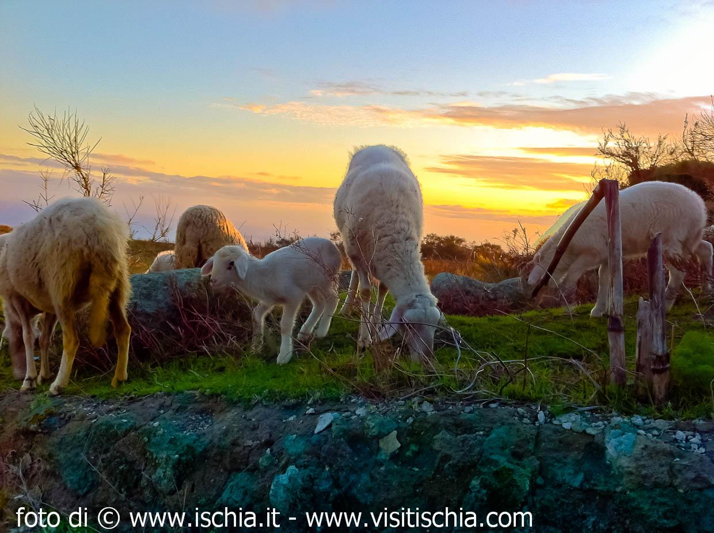 Pecore-al-pascolo-2