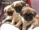 bellissimi cuccioli di carlino
