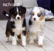 cucciole di Australian Shepherd/Pastore Australiano