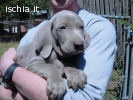 Disponibili bellissimi cuccioli di Weimaraner