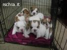 disponibili subito di bulldog inglese