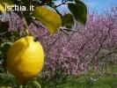Limoni ischitani ottimo prezzo