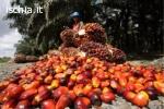 Olio di palma raffinato e greggio e olio di girasole