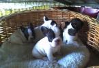 Splendidi cuccioli di bouledogue francese