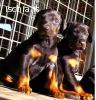 ultimi cuccioli razza dobermann