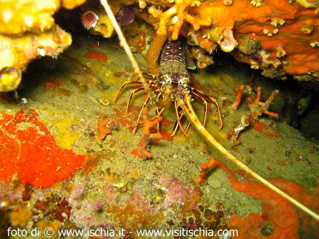 phoca thumb l diving-ischia-1