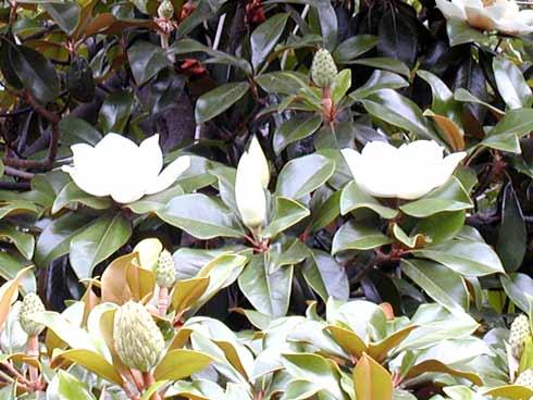 Villa Candida Magnolia